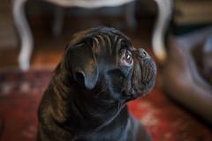 F7300 ~ Gorky, the little pug... (Teresa Teixeira) Tags: dog pet love pug gorky teresateixeira fujixt1 fujifilmxf35mmf2rwrlens