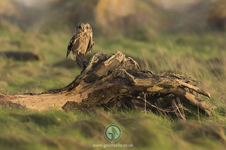 Short-eared Owl Perched 22nd January