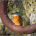 Kingfisher (F) on a mooring ring.