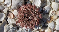 Lytechinus variegatus (variegated sea urchin) (Cayo Costa Island, Florida, USA) 2 (James St. John) Tags: sea costa island florida short variegated urchin urchins cayo echinoid spined variegatus echinoidea echinoids lytechinus