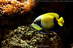 Droomkeizersvis - Pomacanthus navarchus -  Blue-girdled angelfish (MrTDiddy) Tags: blue fish angel zoo antwerp vis angelfish antwerpen zooantwerpen droom keizer girdle girdled pomacanthus navarchus keizersvis bluegirdled keizervis droomkeizersvis