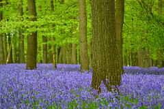 blue woods (Explored 28-01-2016) (C-Smooth) Tags: uk flowers blue trees england nature bluebells forest woodland landscape spring woods nikon purple bluebell