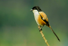 Long-tailed Shrike /     /   (ahmedezaz76) Tags: beauty natural outdoor shrike longtailed