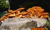 Rusty gill mushroom Gymnopilus species Airlie Beach P1330608 (Steve & Alison1) Tags: beach mushroom rusty species gill airlie gymnopilus strophariaceae arfp arffungi qrfp brownarffungi orangearffungi tropicalarf gymnopilussp arfslimemould