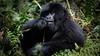 Young gorilla feeding (Lil [Kristen Elsby]) Tags: africa travel nationalpark gorilla wildlife topv1111 rwanda primate travelphotography volcanoesnationalpark mountaingorilla hirwa hirwafamily hirwagroup canon5dmarkii mtsabyinyo