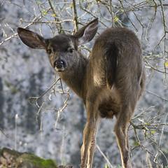 Fawn (uncle.dee9600) Tags: nikon deer telephoto fawn nikond7200