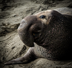 The Schnozz (BarneyK) Tags: droh northernelephantseal dailyrayofhope