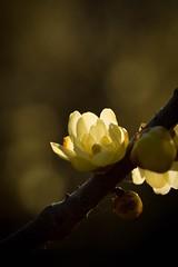 Light of the life -  - (Jien Tohr) Tags: winter plants flower fantasy wintersweet  monochromecolor fewcolors