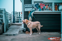 L1001487 (jiaxu he) Tags: california leica dogs 50mm labrador yellowlab newportbeach konica yami orangecounty m9 mhexanon