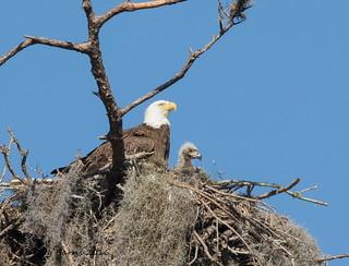 Bald Eagle Adult with Baby