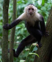DSC_5437-1 (b.solman) Tags: costa monkey rica whitefaced