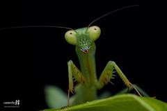 Macro Mantis-4305- (The Bonding Tool) Tags: macro mantis prayingmantis mantid macrophotography macroinsingapore