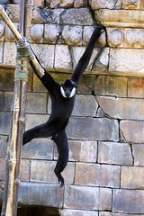 White-Cheeked Gibbon (greekgal.esm) Tags: orlando florida disney waltdisneyworld disneysanimalkingdom gibbon whitecheekedgibbon disneyak disneyanimals