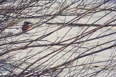 Martin-pcheur (N'Grid) Tags: bird canon martin kingfisher 7d oiseau 100400mm 100400 martinpcheur