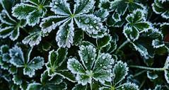 First Frost Colorado DSC_3609 (JKIESECKER) Tags: winter white snow cold green ice frost jackfrost winteriscoming
