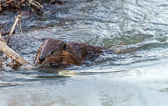 _DSC2029-Edit (doug.metcalfe1) Tags: winter ontario nature stream outdoor beaver aurora 2016 mckenziemarsh nokiidaatrail