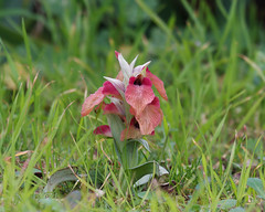 Serapias neglecta (Carla@) Tags: nature canon europa italia liguria wildflowers wildorchids mfcc coth orchideespontanee serapiasneglecta alittlebeauty naturallywonderful sunrays5 explorenaturethewildnature