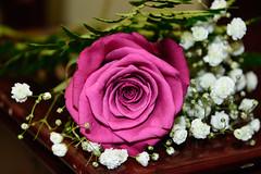 Bouquet (a.el) Tags: flower love nature beautiful nice colorful soft blossom fuchsia fuschia gift dew romantic bouquet lovely emotional riyadh saudiarabia ksa fuchsiadewbouquet
