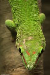 Captive Giant Day Gecko #1 (petechar) Tags: closeup utah reptile lizard saltlakecity sauria phelsumamadagascariensisgrandis gekkonidae giantdaygecko gekkota naturalhistorymuseumofutah charlesrpeterson petechar panasonicgx8 geckoslive