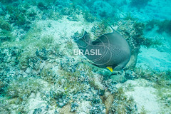 NE_Abrolhos0040 (Visit Brasil) Tags: horizontal brasil fauna natureza bahia nordeste detalhe externa abrolhos semgente subaqutica diurna