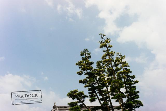 Japanese Pine - sugi
