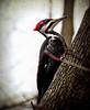Pileated Woodpecker (2bmolar) Tags: animal woodpecker 40 pileatedwoodpecker hss texturebydeviantart 52in2016