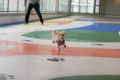IMG_0332 (yukichinoko) Tags: dog dachshund 犬 kinako ダックスフント ダックスフンド きなこ