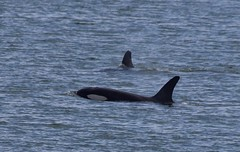 Orca - Killer whales in the Hauraki Gulf (D70) Tags: newzealand mammal pod marine gulf group killer waikato whales orca pods groups kereta hauraki