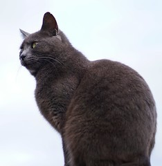 Looking up to Gandalf the cat while on his guard post. (brad connolly) Tags: pet green yellow cat fur outside grey eyes kitten looking gray guard kitty russianblue