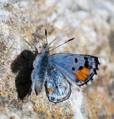 (Tony P Iwane) Tags: macro nature butterfly insect butterflies lepidoptera alumrockpark santaclaracounty lycaenidae philotessonorensis sonoranblue micronikkor55mmf35ai