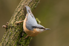 Nuthatch (Mister Oy) Tags: bird nature nikon wildlife 300mm nuthatch penningtonflash d800 davegreen greenheart nikon300mmf4afs buntinghide oyphotos oyphotos