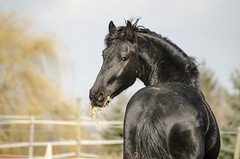 _DSC0013 (Val.Idasiak) Tags: horses horse cheval frise riesling chevaux paard paarden friesian frison