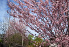 our plum trees think it's spring in february (Sunnyvaledave) Tags: ncalifornia plumtrees