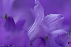 Color Purple (LeChienNoir) Tags: pink flowers netherlands canon soft purple nederland bloemen d500 roze paars zacht 100mmmacrof28 lechiennoir lechiennoirnl