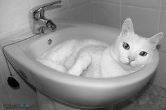 056_366_Mis_costumbres_web (manuelmorillo_fe) Tags: bw white blanco cat photography nikon photographer gato custom costumbres bidet 366 bidé d7100 fotogafia
