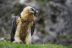 Bearded vulture (Tambako the Jaguar) Tags: male bird grass zoo switzerland nikon profile posing perched vulture tierpark d4 arthgoldau goldau beardedvulture