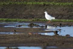 _HNS7193 Kokmeeuw : Mouette rieuse : Larus ridibundus : Lachmowe : Black-headed Gull