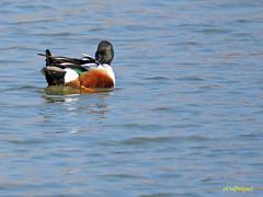 Cuchara comn              (Anas clypeata) (21) (eb3alfmiguel) Tags: aves cuchara comn acuaticas europeo antidas