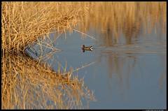DSB_1716-1-03-11 - gallinella d'acqua (r.zap) Tags: fito gallinelladacqua gallinulachloropus parcodelticino fitodepurazione rzap