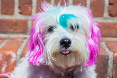 Spring Spirit (aivzdogz) Tags: pink blue hairy dog pet pets white cute dogs animal animals tongue mutt mix fluffy maltese