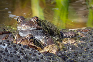 Grasfrosch-Paar (Rana temporaria) mit Laichballen
