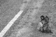 Macaque monkey and infant (Jonathan Stening) Tags: road blackandwhite monochrome monkey nikon cambodia manmade kh fx siemreap krongsiemreap nikond750 jonathanstening