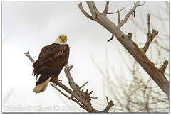 A National Find (ctofcsco) Tags: 1800 1div 2016 280mm 40 atrest baldeagle canon colorado eagle ef200mm ef200mmf2lisusm ef200mmf2lisusm14x eos1dmarkiv eos1d explore extender extender14x extender14xii extenderef14x extenderef14xii f4 mark4 markiv raptor supertelephoto teleconverter telephoto unitedstates usa winter geo:lat=3757333650 geo:lon=10609210113 geotagged homelake montevista shermanlake topawardersl1 best wonderful perfect fabulous great photo pic picture image photograph