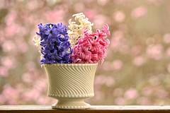 Hyacinth Bouquet (deanrr) Tags: pink flowers white nature purple bokeh outdoor alabama vase bouquet hyacinth morgancountyalabama