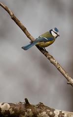 Blue tit / Blmeis (Marius K. Eriksen) Tags: blue bird nature birds norway norge tit natur bluetit halden stfold birdspotting cyanistescaeruleus blmeis fuglekikking