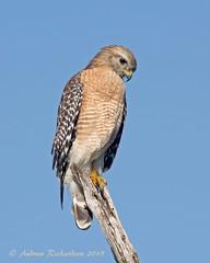 Red-shouldered Hawk (Andrew's Wildlife) Tags: hawk redshouldered