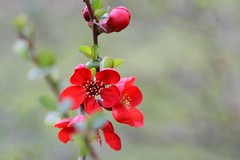 Japanese Quince (Mah Nava) Tags: red flower rot spring blume japanesequince frhling chaenomeles chaenomelesspeciosa zierquitte japanischezierquitte