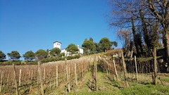 Vigneto Castello degli Angeli (CastellodegliAngeli) Tags: primavera uva vino viti gemme vigneti castellodegliangeli