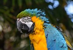 Macaw @ Bloedel Conservatory, Vancouver (careth@2012) Tags: portrait nature wildlife ngc beak feathers parrot npc macaw bloedelconservatory