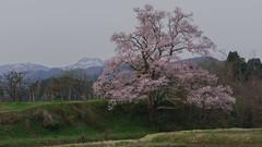 "That from ""The Cherry mukaino"" Japan's Toyama Prefecture Nanto 3 (Nobuyuki Ikeda) Tags: sky mountain japan river landscape spring sony   sakura cherryblossoms toyama        nanto       nex6"